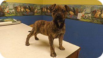 Boxer/Terrier (Unknown Type, Medium) Mix Puppy for adoption in Columbus, Kansas - Meeka