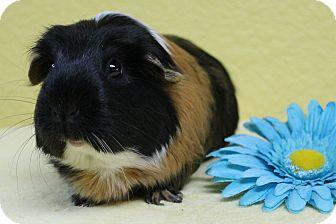 Guinea Pig for adoption in Benbrook, Texas - Coco