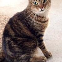 Domestic Shorthair Cat for adoption in Orlando, Florida - Cassie (IL) 8.6.09
