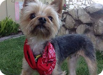 Yorkie, Yorkshire Terrier Mix Dog for adoption in Los Angeles, California - Happy