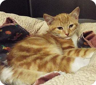 Domestic Shorthair Kitten for adoption in Grants Pass, Oregon - Brave