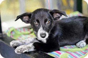 Australian Shepherd/Blue Heeler Mix Puppy for adoption in Hamburg, Pennsylvania - Wrangler