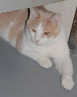 Domestic Mediumhair Cat for adoption in Shelbyville, Tennessee - Taz