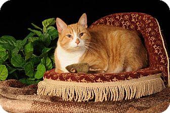 American Shorthair Cat for adoption in mishawaka, Indiana - Penny