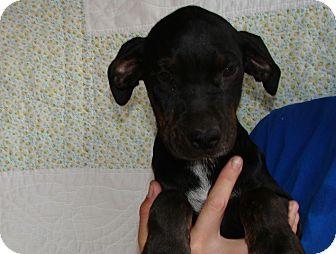 Doberman Pinscher/Labrador Retriever Mix Puppy for adoption in Oviedo, Florida - Mikey