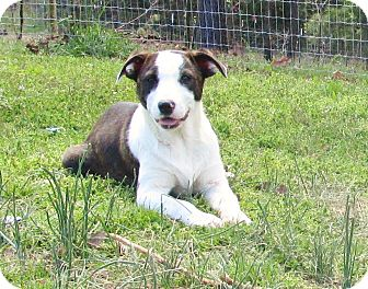 Basenji/Catahoula Leopard Dog Mix Dog for adoption in Melbourne, Arkansas - Becky Brown