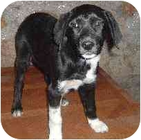 Australian Shepherd/Labrador Retriever Mix Puppy for adoption in Pine Valley, California - Sadie