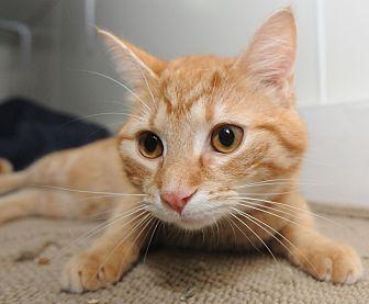 Domestic Shorthair Cat for adoption in Ashland, Ohio - Rocky