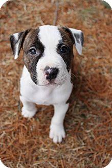 Pit Bull Terrier Mix Puppy for adoption in Framingham, Massachusetts - Nate
