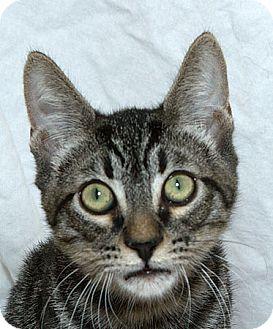 Domestic Shorthair Kitten for adoption in Sacramento, California - Nicholas V