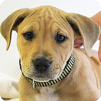 Vizsla/American Staffordshire Terrier Mix Puppy for adoption in Huntley, Illinois - Amber