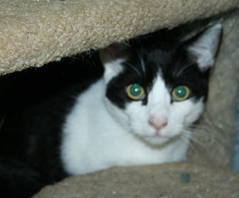 Domestic Shorthair Kitten for adoption in Santa Rosa, California - Vincent