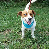 Jack Russell Terrier Mix Dog for adoption in Rockmart, Georgia - Captain