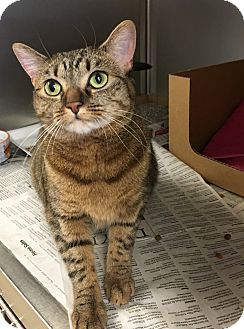 Domestic Shorthair Cat for adoption in East Brunswick, New Jersey - Maria