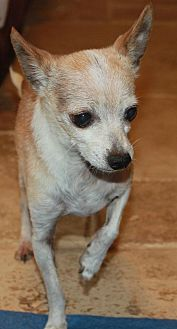 Chihuahua Mix Dog for adoption in Buckeye, Arizona - Vince