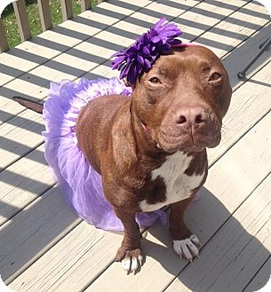 Pit Bull Terrier/Labrador Retriever Mix Dog for adoption in Wood Dale, Illinois - Gretel- FREE KISSES!!