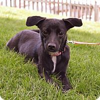 Adopt A Pet :: Luna - Pittsburgh, PA