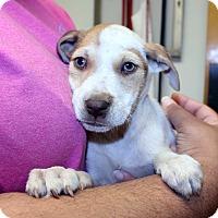 Adopt A Pet :: Persephone - Lumberton, NC