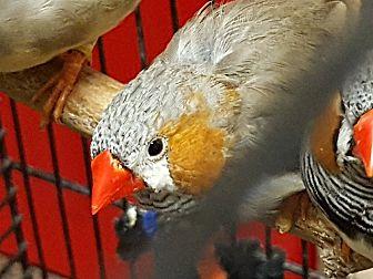 Finch for adoption in Edmonton, Alberta -