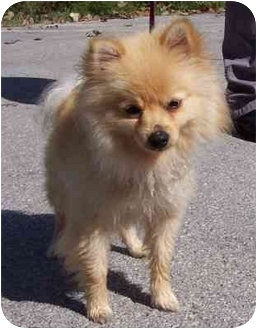 Pomeranian Dog for adoption in Overland Park, Kansas - Mickey Mouse