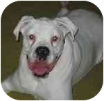 Boxer Dog for adoption in Navarre, Florida - Bogey