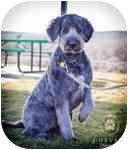 Golden Retriever/Standard Poodle Mix Dog for adoption in Seattle, Washington - Hershey