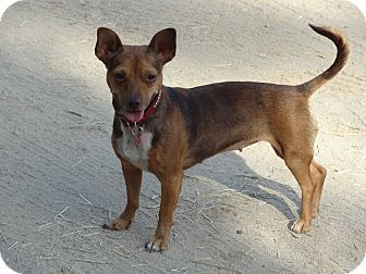 Miniature Pinscher/Chihuahua Mix Dog for adoption in Los Angeles, California - Lucy