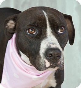Labrador Retriever/American Bulldog Mix Dog for adoption in Cincinnati, Ohio - Ziba