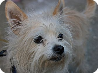 Yorkie, Yorkshire Terrier Mix Dog for adoption in San Andreas, California - Scooter