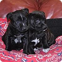 Adopt A Pet :: Puppy - Port Washington, NY