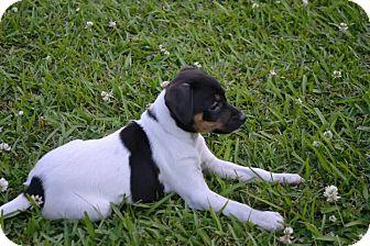 Rat Terrier/Miniature Pinscher Mix Puppy for adoption in Walker, Louisiana - Ruby