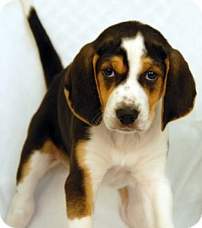 Coonhound Mix Puppy for adoption in Newland, North Carolina - O'Leen