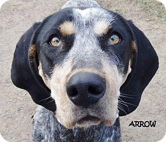 Bluetick Coonhound Mix Dog for adoption in Lapeer, Michigan - ARROW--SOOO stinkin' cute!