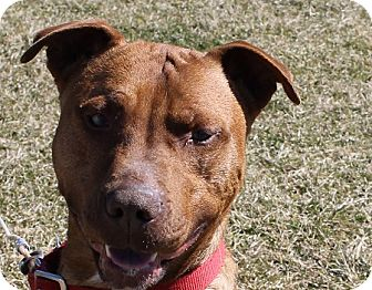 American Staffordshire Terrier Mix Dog for adoption in Grinnell, Iowa - Cane