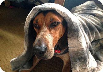 Hound (Unknown Type) Mix Dog for adoption in Valley Village, California - Dreamer