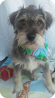 Schnauzer (Miniature) Mix Dog for adoption in Corona, California - MARLON