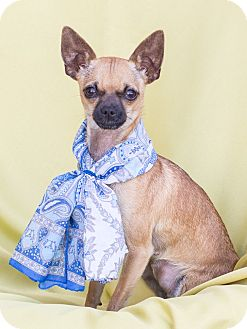 Chihuahua Mix Dog for adoption in Chandler, Arizona - Maizy