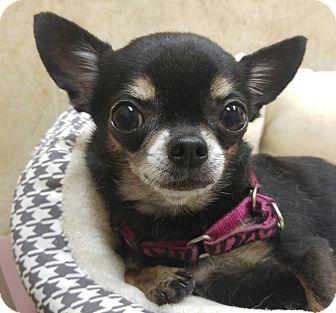 Chihuahua Dog for adoption in AUSTIN, Texas - Stella
