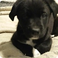 Adopt A Pet :: Puppy 2 - Treton, ON