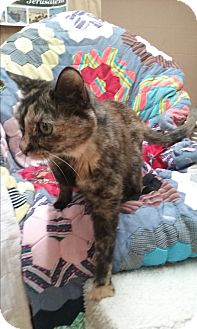 Calico Cat for adoption in Floral City, Florida - Gabby