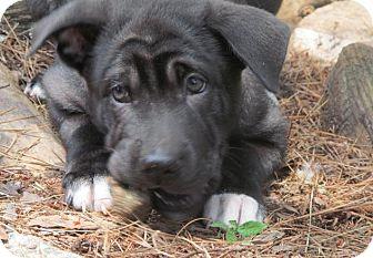Shar Pei/Labrador Retriever Mix Puppy for adoption in Ball Ground, Georgia - Pete