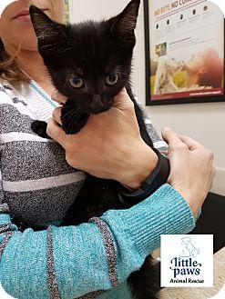 Domestic Shorthair Kitten for adoption in Hamilton, Ontario - Cianna