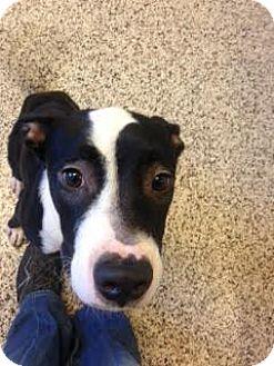 Retriever (Unknown Type) Mix Dog for adoption in Aiken, South Carolina - Rutland