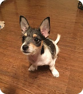 Terrier (Unknown Type, Small) Mix Puppy for adoption in Plano, Texas - APRIL-CUTIE TERRIER PUPPY
