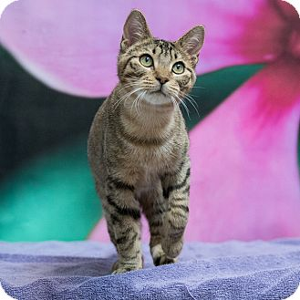 Domestic Shorthair Kitten for adoption in Houston, Texas - Lefty