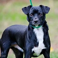 Adopt A Pet :: Max - Norman, OK