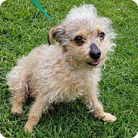Adopt A Pet :: Courtney - Los Angeles, CA
