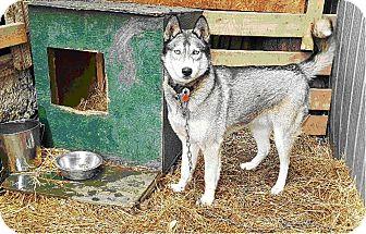 Siberian Husky Mix Dog for adoption in Tweed, Ontario - Adoption Pending!!!!  Timber