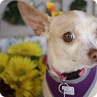 Chihuahua Mix Dog for adoption in Houston, Texas - Tink
