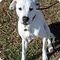 Adopt A Pet :: Quinn - Joliet, IL